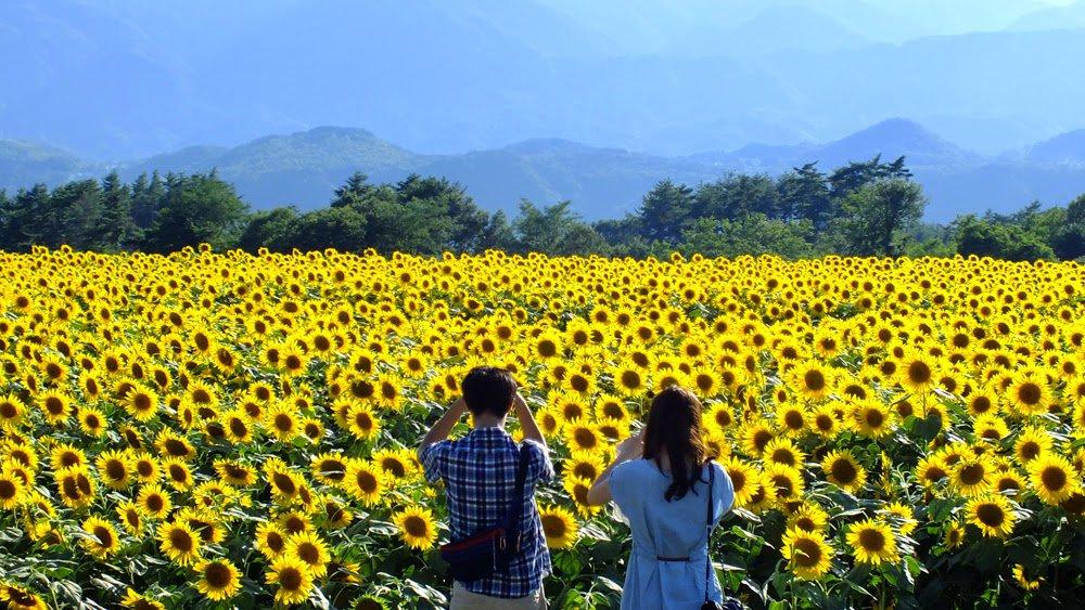 Du lịch đồi hoa hướng dương Nghệ An