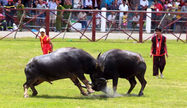 Lễ hội chọi trâu hàng năm thu hút đông đảo người dân