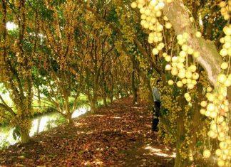 Vườn trái cây Mỹ Khánh hấp dẫn khách du lịch