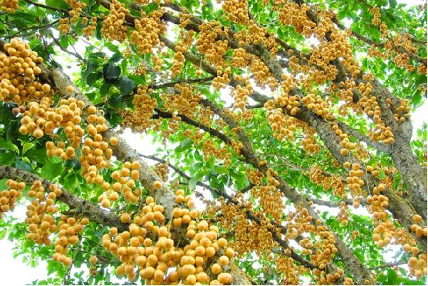 Khám phá Vườn trái cây Mỹ Khánh Cần Thơ