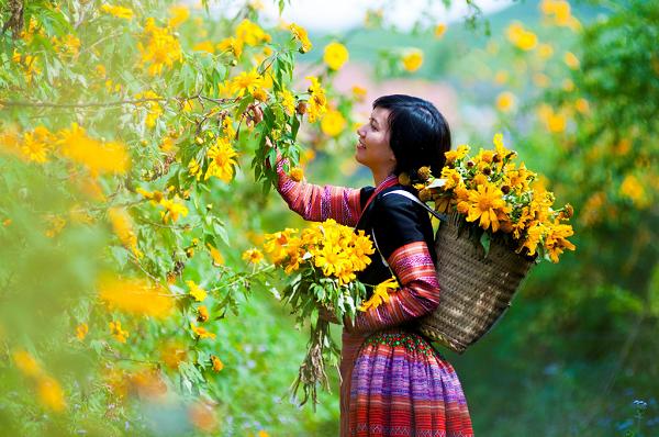 Ngắm hoa dã quỳ trên cao nguyên Mộc Châu