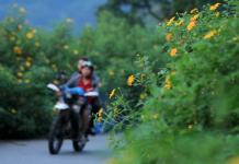 Núi Ba Vì điểm phượt ngắm hoa dã quỳ đẹp nhất ở Miền Bắc