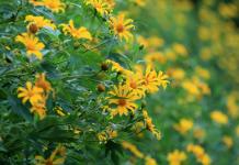 Phượt ba vì ngắm trọn vẻ đẹp của hoa dã quỳ tháng 11