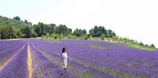 Vườn hoa lavender Đà Lạt điểm đến thu hút du khách