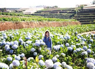 """Vườn hoa Cẩm Tú Cầu - điểm """"sống ảo"""" lý tưởng cho du khách"""