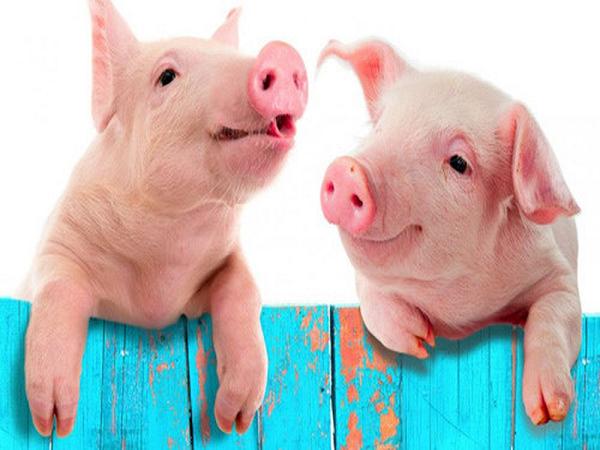 Giải mã chi tiết ý nghĩa giấc mơ thấy lợn