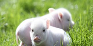 Nằm mơ thấy lợn có ý nghĩa gì?